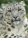 Snow Leopard (Uncia Uncia), Endangered Native to Asia and Russia Fotografiskt tryck av Cyril Ruoso