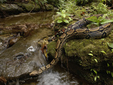 Boa Constrictor (Boa Constrictor) Crossing a Stream, Ecuador Photographic Print by Pete Oxford