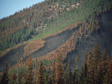 Yellowstone Fire, Path of Forest Fire on Wooded Mountainside, Yellowstone, Wyoming Photographic Print by Michael S. Quinton
