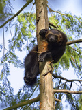 Wolverine (Gulo Gulo) Resting in Tree, Native to North America and Europe Photographic Print by Konrad Wothe