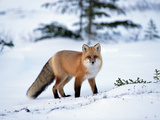 Red Fox (Vulpes Vulpes) in Winter, North America Photographic Print by Konrad Wothe