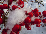 Snow on the Berries of a Heavenly Bamboo, Nandina Domestica, Plant Photographie par Kent Kobersteen