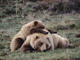 Alaskan Brown Bear or Grizzly Bear (Ursus Arctos) Mother and Cub Sleeping, Denali, Alaska Photographic Print by Michael S. Quinton