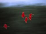 Scarlet Ibis (Eudocimus Ruber) Flock Flying, Trinidad, West Indies, Caribbean Photographic Print by Konrad Wothe