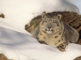 Snow Leopard (Uncia Uncia) Two Years Old, Himalayan Region Photographic Print by Gerry Ellis