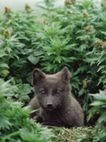 Arctic Fox (Alopex Lagopus) Young Pup, Arctic North America Photographic Print by Gerry Ellis