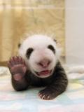 Giant Panda (Ailuropoda Melanoleuca) Cub, Wolong Nature Reserve, China Photographic Print by Katherine Feng