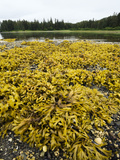 Rock Weed (Fucus Gardneri) at Low Tide, Pleasant Bay, Admiralty Island, Alaska Photographic Print by Konrad Wothe