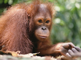 Orangutan (Pongo Pygmaeus), Orangutan Wildlife Center, Borneo Photographic Print by Gerry Ellis