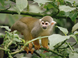 South American or Common Squirrel Monkey (Saimiri Sciureus), Brazil Photographic Print by Gerry Ellis