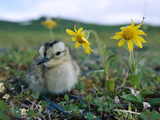 Whimbrel (Numenius Phaeopus) Chick on Tundra with Flowers, Alaska Photographic Print by Michael S. Quinton
