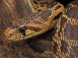 Captive Pacific Gopher Snake, Pituophis Melanoleucus Catenifer, Close Up Photographic Print by John Cancalosi