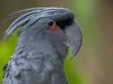 Palm Cockatoo (Probosciger Aterrimus) Fotografiskt tryck av Cyril Ruoso