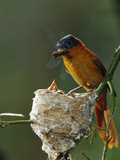 Madagascar Paradise Flycatcher (Terpsiphone Mutata) Female Feeding Chicks Photographic Print by Cyril Ruoso