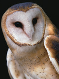 Barn Owl (Tyto Alba), Worldwide Distribution Photographic Print by Gerry Ellis