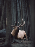 Elk or Wapiti (Cervus Elaphus) Bull Resting on Burned Forest Floor and Bugling, Yellowstone Photographic Print by Michael S. Quinton