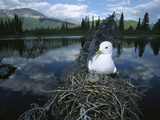 Mew Gull (Larus Canus) on Nest in Tree with Two Chicks, Boreal Pond Habitat, Alaska Photographic Print by Michael S. Quinton