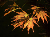 Japanese Maple Leaves, Acer Palmatum, Backlit Photographic Print by Joe Petersburger