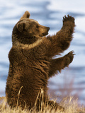 Grizzly Bear (Ursus Arctos Horribilis) Playing, Montana Photographic Print by Konrad Wothe