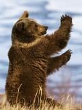 Grizzly Bear (Ursus Arctos Horribilis) Playing, Montana Photographic Print by Konrad Wothe