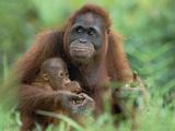 Orangutan (Pongo Pygmaeus) Mother with Baby, Tanjung Puting National Park, Borneo Photographic Print by Konrad Wothe