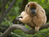 Black Howler Monkey (Alouatta Caraya) Female Resting in Tree, Native to South America Fotografiskt tryck av Cyril Ruoso