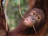 Orangutan (Pongo Pygmaeus) Juvenile, Sepilok Forest Reserve, Sabah, Borneo Photographic Print by Gerry Ellis