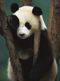 Giant Panda (Ailuropoda Melanoleuca) Endangered, of a Young Panda in a Tree Photographic Print by Cyril Ruoso