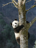 Giant Panda (Ailuropoda Melanoleuca) Climbing Tree, Endangered, Wolong Valley, China Photographic Print by Konrad Wothe