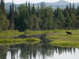 Moose (Alces Americanus) Juvenile Bull Walking in Landscape, Chena River, Alaska Photographic Print by Michael S. Quinton