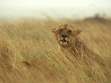 African Lion (Panthera Leo) Female in Rainstorm, Masai Mara National Reserve, Kenya, Africa Photographic Print by Gerry Ellis