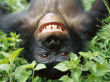 Bonobo or Pygmy Chimpanzee (Pan Paniscus) Smiling While Laying on Ground Fotografiskt tryck av Cyril Ruoso