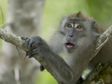 Long-Tailed or Crab-Eating Macaque (Macaca Fascicularis) in Tree, Malaysia Fotografiskt tryck av Cyril Ruoso