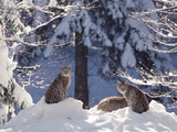 Eurasian Lynx (Lynx Lynx) Trio Resting in Snow, Bayerischer Wald National Park, Germany Photographic Print by Konrad Wothe