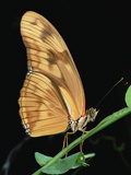 Julia Butterfly (Dryas Iulia) Hanging from Stem, Central America Photographic Print by Mark Moffett