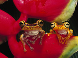 Chachi Tree Frog (Hyla Picturata) Pair, Cotacachi-Cayapas Reserve, Northwest Ecuador Photographic Print by Pete Oxford