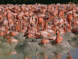 Greater Flamingo (Phoenicopterus Ruber) Nesting Colony with Mud Nests, Caribbean Photographic Print by Gerry Ellis