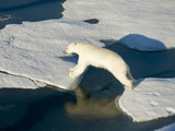 A Polar Bear Takes a Mighty Leap from One Ice Floe to Another Photographic Print by Ira Block