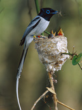 Madagascar Paradise Flycatcher (Terpsiphone Mutata) Male White Morph Feeding Chicks, Print