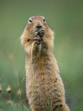 Arctic Ground Squirrel (Spermophilus Parryii) Feeding on Grasses, Alaska Photographic Print by Michael S. Quinton