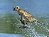 Hanuman or Grey or Common Langur (Semnopithecus Entellus) Crossing a River, India Photographic Print by Cyril Ruoso