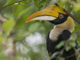 Great Hornbill (Buceros Bicornis) Adult in Tree, Native to Asia Fotografiskt tryck av Cyril Ruoso