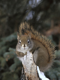 Red Squirrel (Tamiasciurus Hudsonicus) Boreal Forest, Alaska Photographic Print by Michael S. Quinton