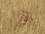 Lion (Panthera Leo) Young Male Camouflaged in Tall Grass, Masai Mara, Kenya Fotografie-Druck von Gerry Ellis