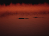 American Alligator (Alligator Mississippiensis) Floating at Water Surface at Sunset, Florida Photographic Print by Konrad Wothe