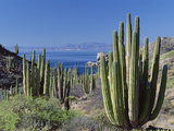 Cardon Cactus (Pachycereus Pringlei) Landscape, Baja California, Mexico Photographic Print by Konrad Wothe