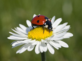 Seven-Spotted Ladybird (Coccinella Septempunctata) on Common Daisy (Bellis Perennis) Photographic Print by Konrad Wothe
