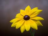 A Black Eyed Susan  Rudbeckia Hirta  Blooms in a Home Garden