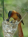 Madagascar Paradise Flycatcher (Terpsiphone Mutata) Female Feeding Chicks Fotografiskt tryck av Cyril Ruoso