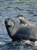 Baikal Seal (Phoca Sibirica) Resting on Rock with Flipper Raised, Zabaikalsky, Russia Photographic Print by Konrad Wothe